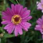 Argyranthemum Crested Pink (Argyranthemum frutescens)