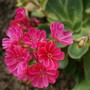 Lewisia (Lewisia Portulacaceal)