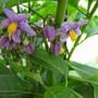 Solanum (S.crispum)
