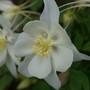 Swan White (Aquilegia saximontana (Rocky Mountain Colombine)