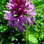 Anacamptis pyramidalis (Pyramidal Orchid) (Anacamptis pyramidalis (Pyramidal Orchid))