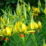 Turk's-Cap Lily in full bloom - June 2007. (Lilium pyrenaicum)