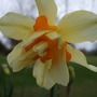 Double_narcissus