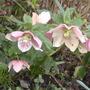 pink helleborus