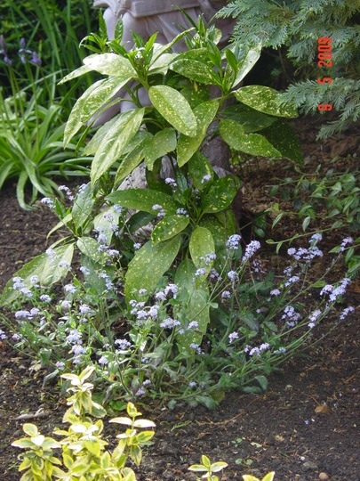 Forget-me-not/Spotted Laurel (Myosotis/Aucuba japonica crotonifoilia)