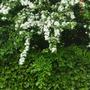 Hawthorn blossom and Laurel hedge (Crataegus/Laurel)