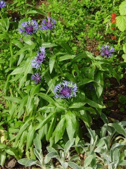 Perennial Cornflower and Lamb's Ears
