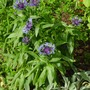 Perennial_cornflower_and_lamb_s_ears