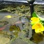 Pond plant Ranunculus (Ranunculus aquatilis (Nagy Viziboglarka))