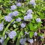 Ceanothis (Ceanothus burkwoodii (California lilac))