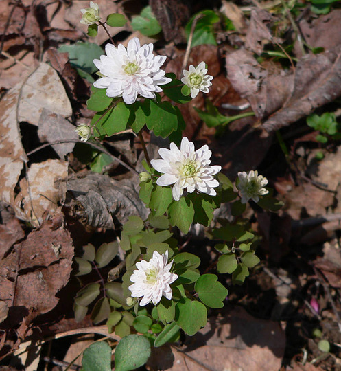 Rue Anemone DOUBLE (Anemonella thalictroides DOUBLE)