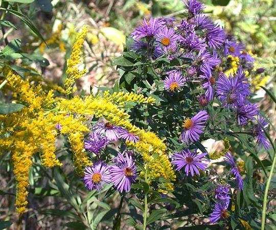 New England Aster  (Aster novae-angliae)