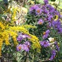 Aster_new_england_goldenrod_clumps_9_24_02_lr