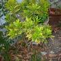 Codiaeum variegatum 'Gold Dust'  - Croton 'Gold Dust' (Codiaeum variegatum 'Gold Dust')