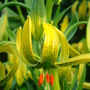 Turk's-Cap Lily curling up - June 2007. (Lilium pyrenaicum)