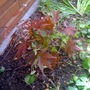 Acer, a gift from Craig today (Acer palmatum (Japanese maple))