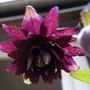 "A garden flower photo (Aquilegia caerulea (Colorado Blue Columbine)""Black Barlow"")"