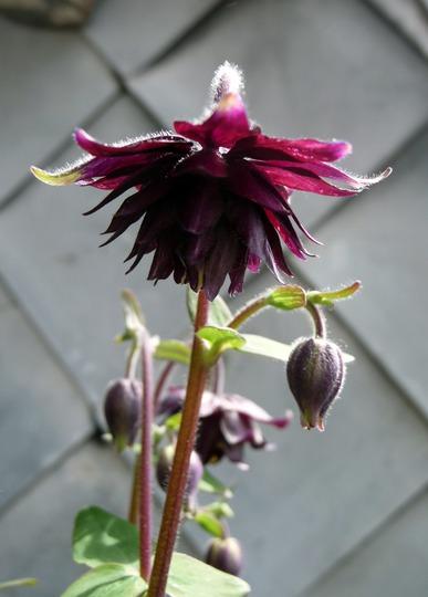 "A garden flower photo (Aquilegia caerulea (Colorado Blue Columbine)""Black Barlow"")"