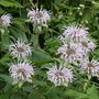 Bergamot_wild_bunch_bee_7_24_sm