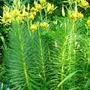 Turk's-Cap Lily - June 2007 (Lilium pyrenaicum)