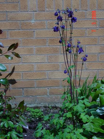 Columbine 1 plant (Aquilegia vulgaris)