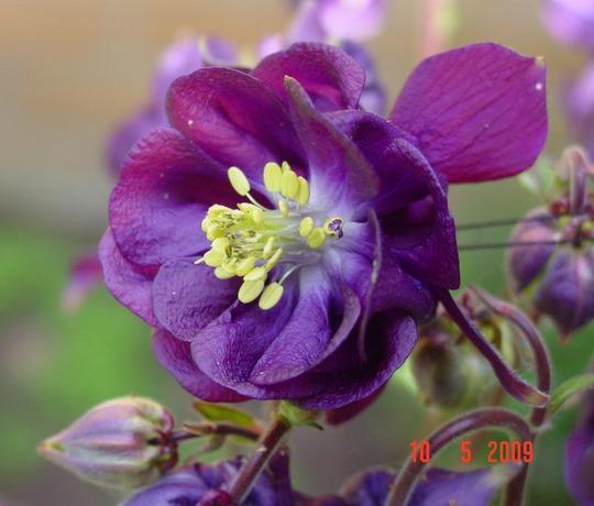 Columbine 1 flower detail (Aquilegia vulgaris)