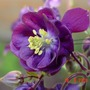 Aquilegia_1_flower_detail