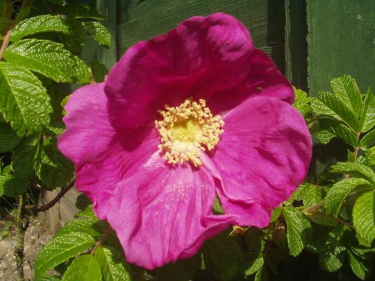 rose (Rosa rugosa (Rugosa rose))