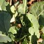 Broccoli_romanesco2