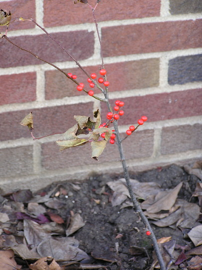 Winter interest (Ilex verticillata (Aliso Negro))