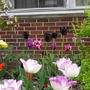 Tulips_profusion