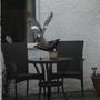 Startled Pigeon