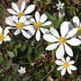 Bloodroot_group_w_sprngbeauty_4_07_06_exc