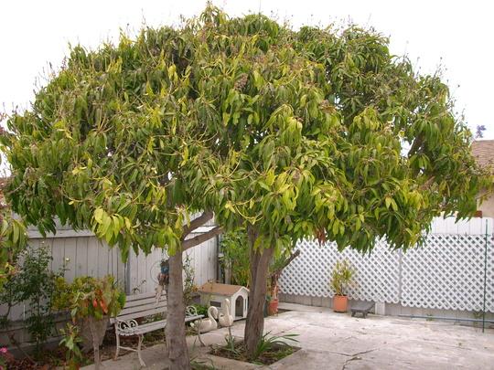 Mangifer indica - Mango Trees (Mangifera indica - Mango Tree)
