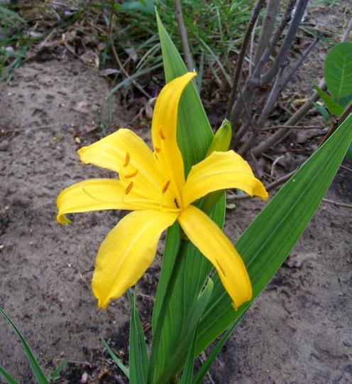 Yellow Freesia (Freesia hybrida)