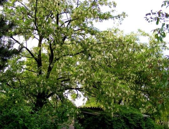 False Acacia trees in full bloom. (Robinia pseudoacacia (False acacia))