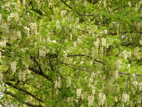 False Acacia (Robinia pseudoacacia (False acacia))