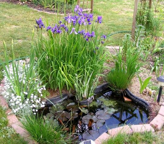 Irises by pond.