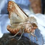 Moth_on_outsde_tap_10_05_09_5