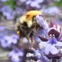 Bee_on_ajuga_bugle_10_05_09_13