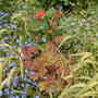 Bowles golden grass with forget-me-nots and Heuchera