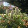 Cones of Abies koreana in front garden