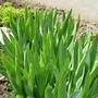 Iris - quicken