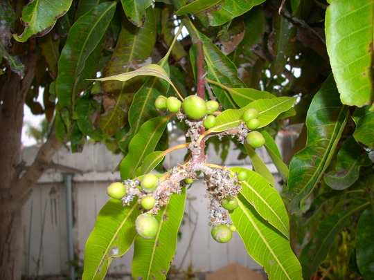 Mangifer indica - Mango Trees and young Fruits. (Mangifera indica - Mango Tree)
