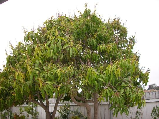 Mangifera indica - Mango Trees and young Fruits. (Mangifera indica (Mango))