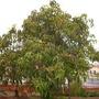 Mangifer indica - Mango Tree (Mangifera indica - Mango Tree)