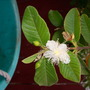 Psidium guajava - Tropical Guava  (Psidium guajava - Tropical Guava)