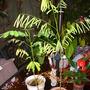 Enterolobium contortisiliquum - Earpod Tree (Enterolobium contortisiliquum - Earpod Tree)