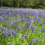 Bluebells at Yoxall Lodge