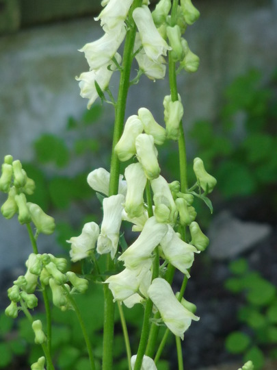 Aconitum Ivorine (Aconitum  Ivorine)